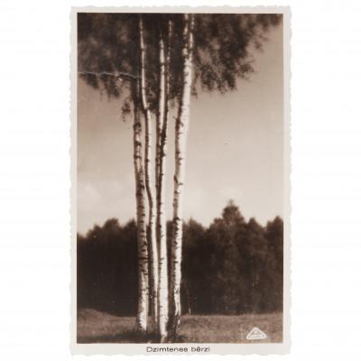 "Photography ""Homeland birches"""